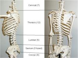 پاو وینت بررسی آناتومی و حرکات تنه (انسان)